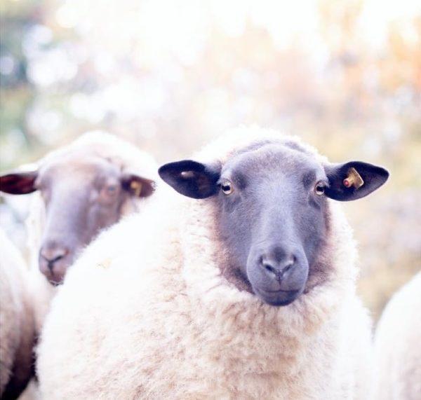 Schaf im Herbst by titatoni